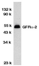 Anti GFR Alpha 2 Antibody thumbnail image 1