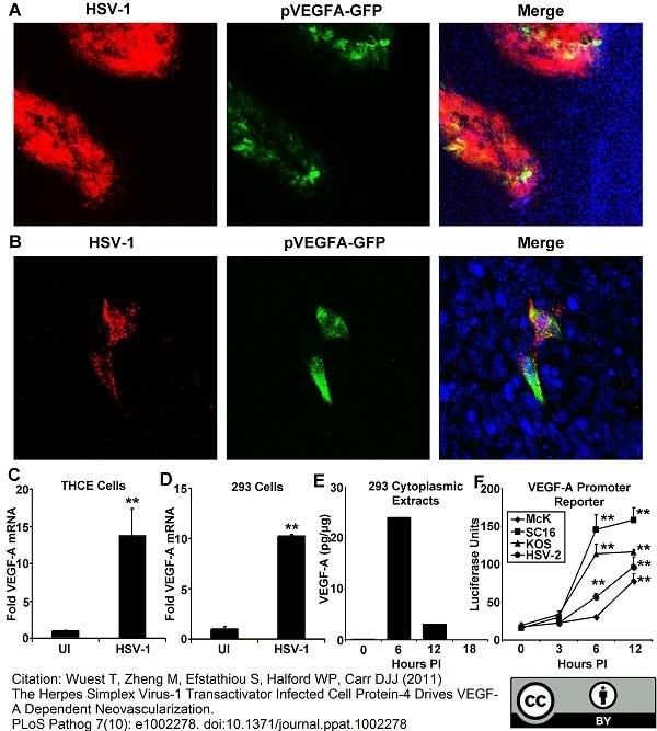 Anti Green Fl Protein Antibody - Goat thumbnail image 1