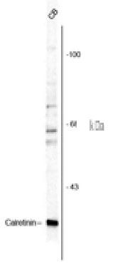 Anti Guinea Pig Calretinin Antibody gallery image 1