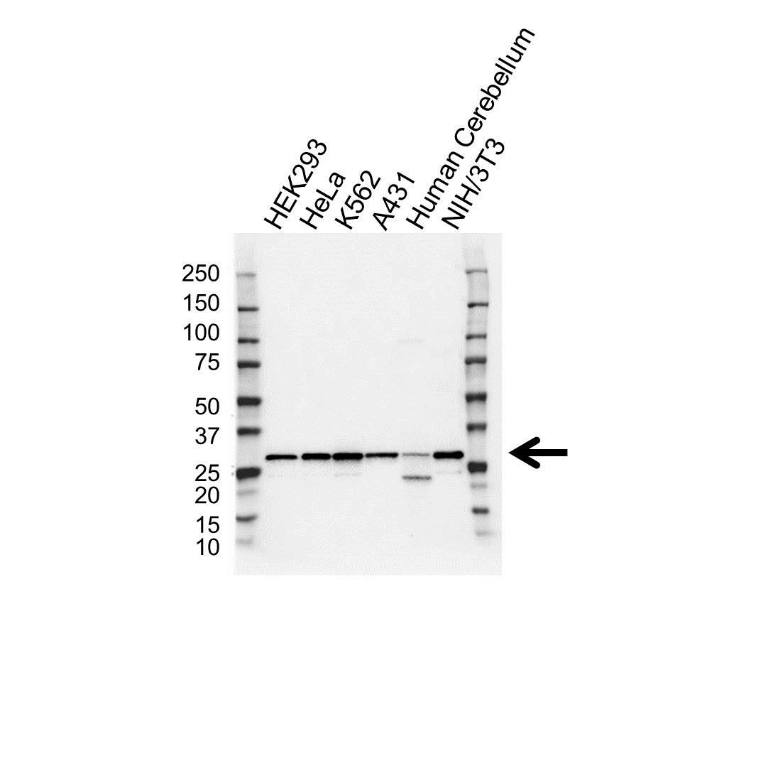 Anti 14-3-3 Gamma Antibody (PrecisionAb Polyclonal Antibody) gallery image 1