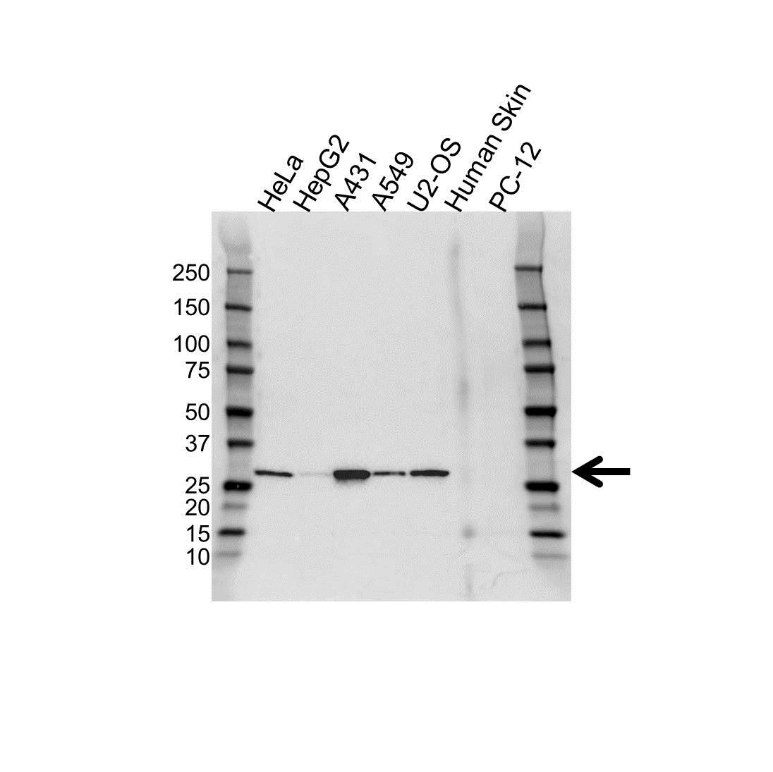 Anti 14-3-3 Sigma Antibody (PrecisionAb™ Polyclonal Antibody) gallery image 1