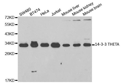 Anti 14-3-3 Theta Antibody thumbnail image 1