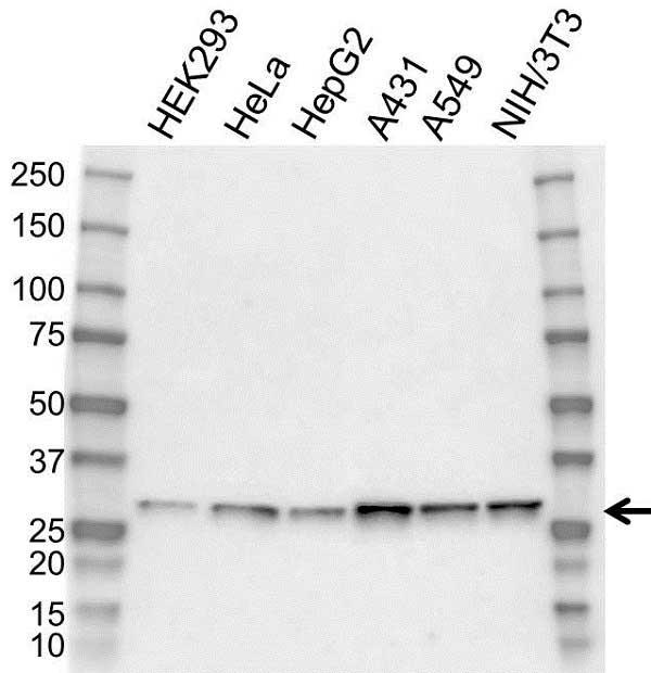 Anti 14-3-3 Zeta/Delta Antibody (PrecisionAb Polyclonal Antibody) gallery image 1