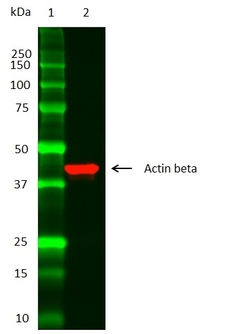 Anti Actin Beta Antibody thumbnail image 2