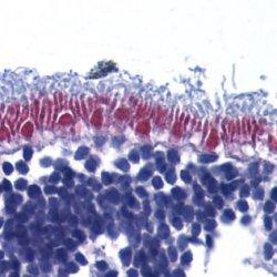 Anti AIF (aa517-531) Antibody thumbnail image 1