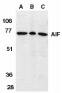 Anti AIF (aa517-531) Antibody thumbnail image 2