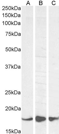 Anti AIF1 (C-Terminal) Antibody thumbnail image 3