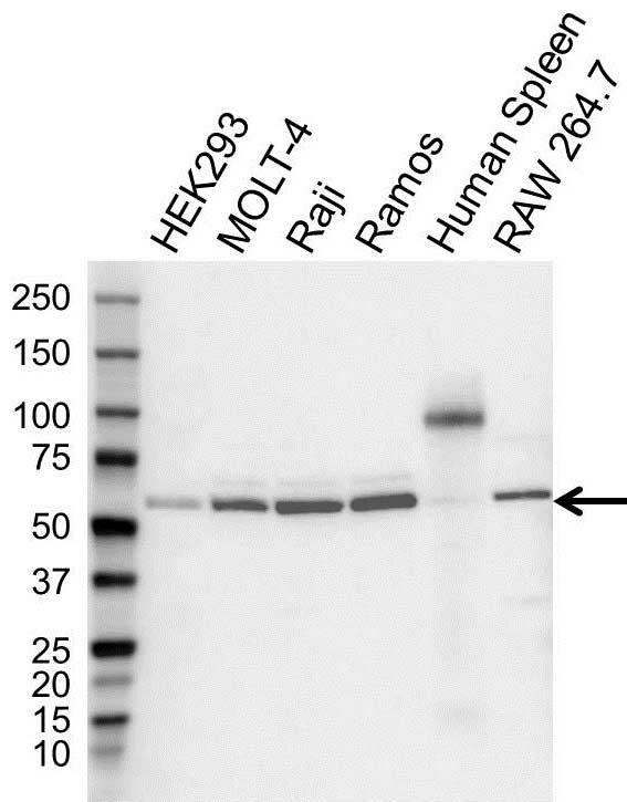 Anti Aire Antibody (PrecisionAb Polyclonal Antibody) gallery image 1