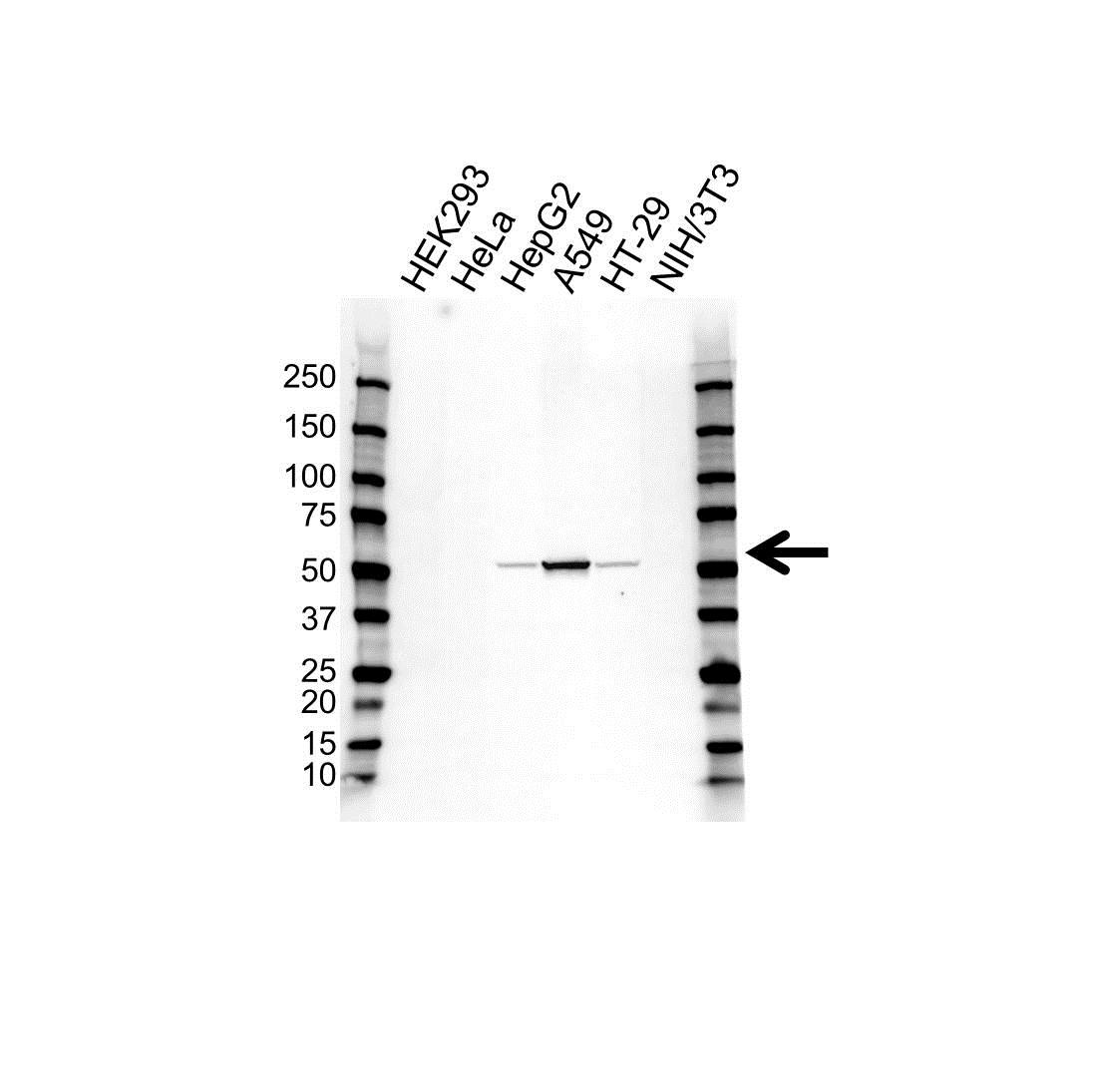 Anti Aldehyde Dehydrogenase 1 Antibody (PrecisionAb Polyclonal Antibody) gallery image 1