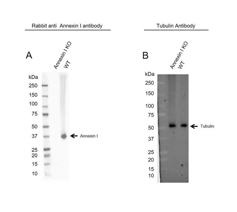 Anti Annexin I Antibody (PrecisionAb Polyclonal Antibody) thumbnail image 2