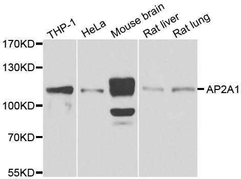 Anti AP2A1 Antibody gallery image 1