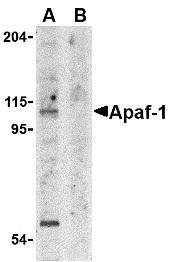 Anti APAF1 (aa12-28) Antibody thumbnail image 1