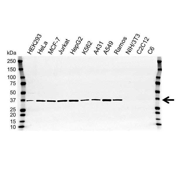 Anti APEX1 Antibody (PrecisionAb™ Polyclonal Antibody) gallery image 1