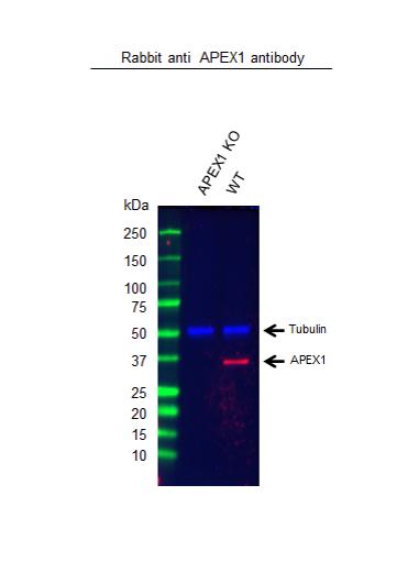 Anti APEX1 Antibody (PrecisionAb Polyclonal Antibody) thumbnail image 2