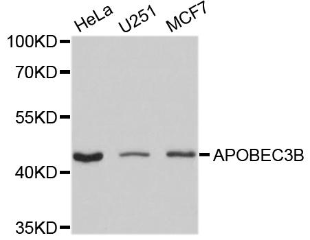 Anti APOBEC3B Antibody gallery image 1