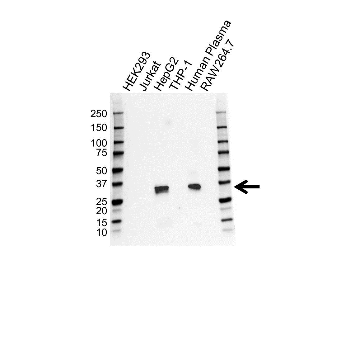 Anti Apolipoprotein E Antibody (PrecisionAb Polyclonal Antibody) gallery image 1
