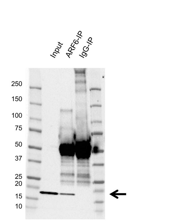 Anti ARF6 Antibody (PrecisionAb Polyclonal Antibody) thumbnail image 2