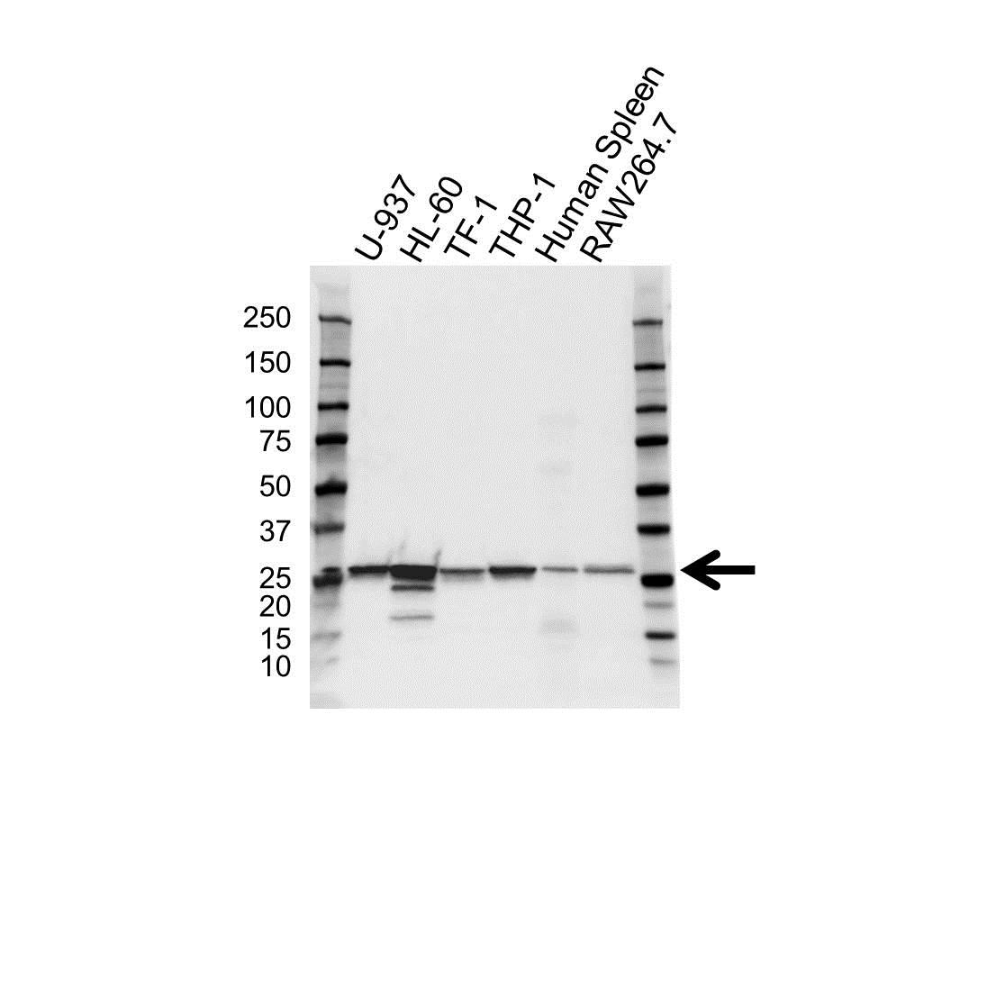 Anti Arhgdib Antibody (PrecisionAb Polyclonal Antibody) gallery image 1