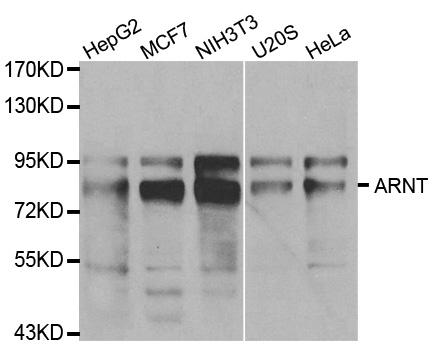 Anti ARNT Antibody gallery image 1