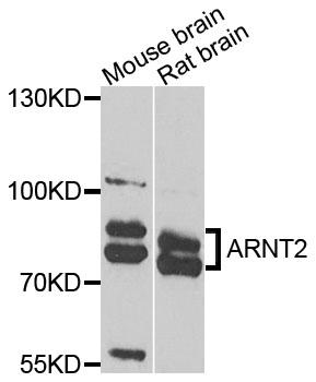 Anti ARNT2 Antibody thumbnail image 1
