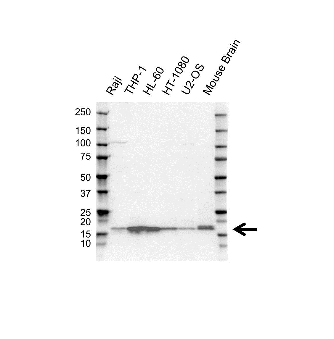 Anti ARPC5 Antibody (PrecisionAb™ Polyclonal Antibody) gallery image 1