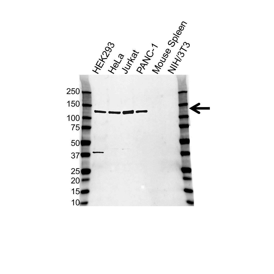 Anti ARS2 Antibody (PrecisionAb Polyclonal Antibody) gallery image 1