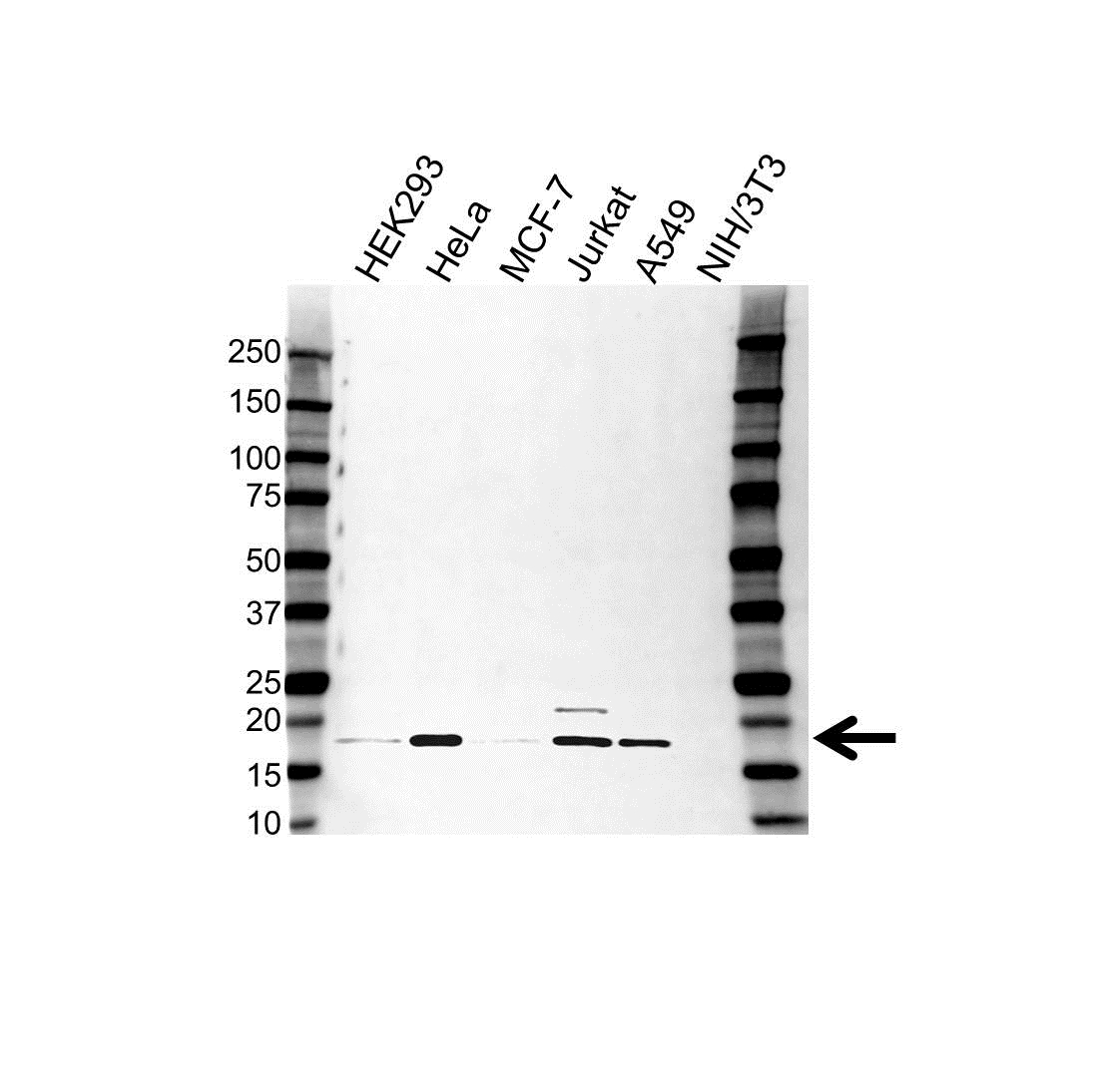 Anti ASF1A Antibody (PrecisionAb Polyclonal Antibody) gallery image 1