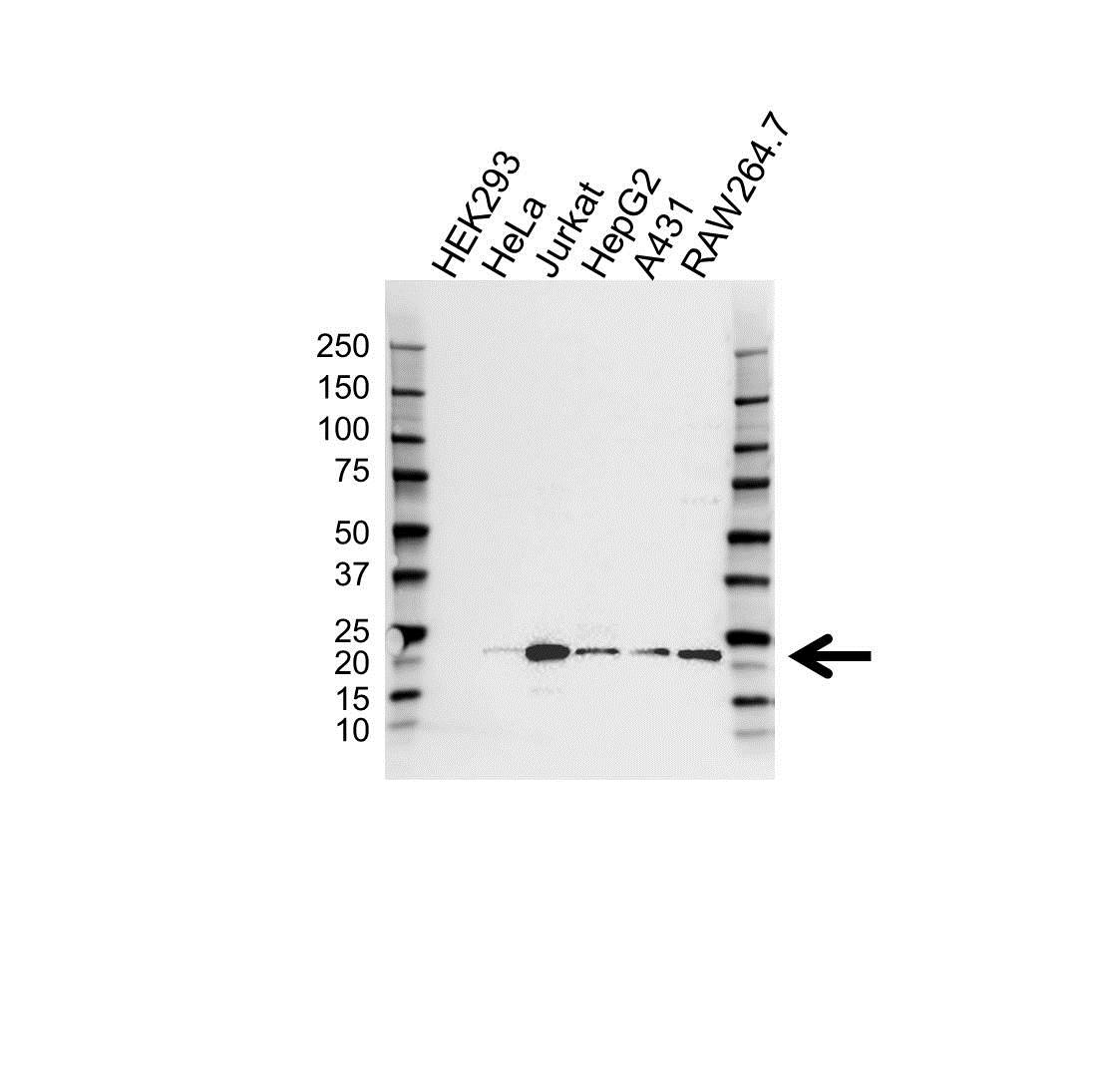 Anti ATF3 Antibody (PrecisionAb™ Polyclonal Antibody) gallery image 1
