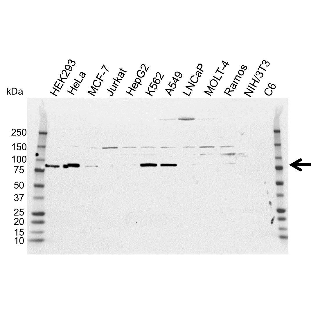 Anti ATF6 Antibody (PrecisionAb™ Polyclonal Antibody) gallery image 1