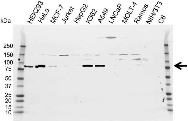 Anti ATF6 Antibody (PrecisionAb Polyclonal Antibody) gallery image 1