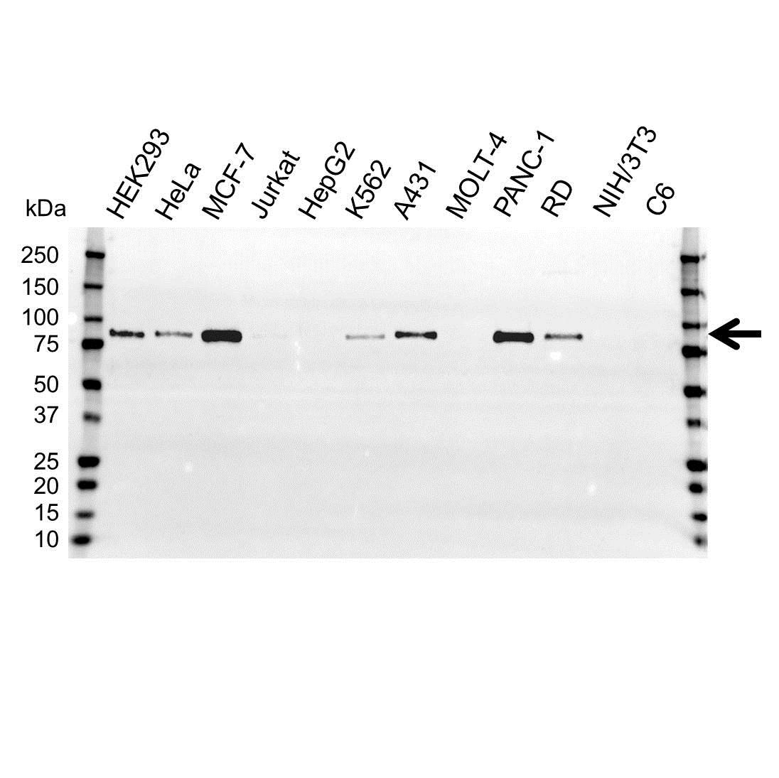 Anti BAG3 Antibody (PrecisionAb™ Polyclonal Antibody) gallery image 1