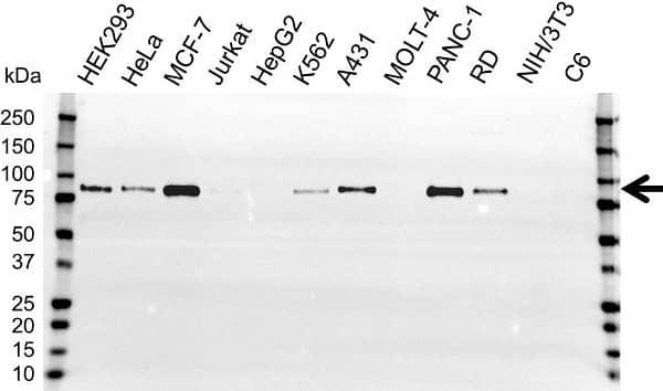 Anti BAG3 Antibody (PrecisionAb Polyclonal Antibody) gallery image 1