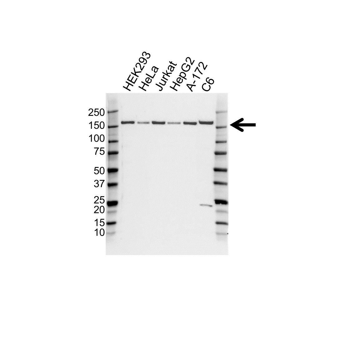 Anti BAG6 Antibody (PrecisionAb™ Polyclonal Antibody) gallery image 1