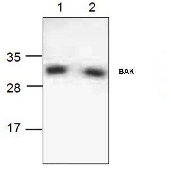 Anti BAK Antibody gallery image 1