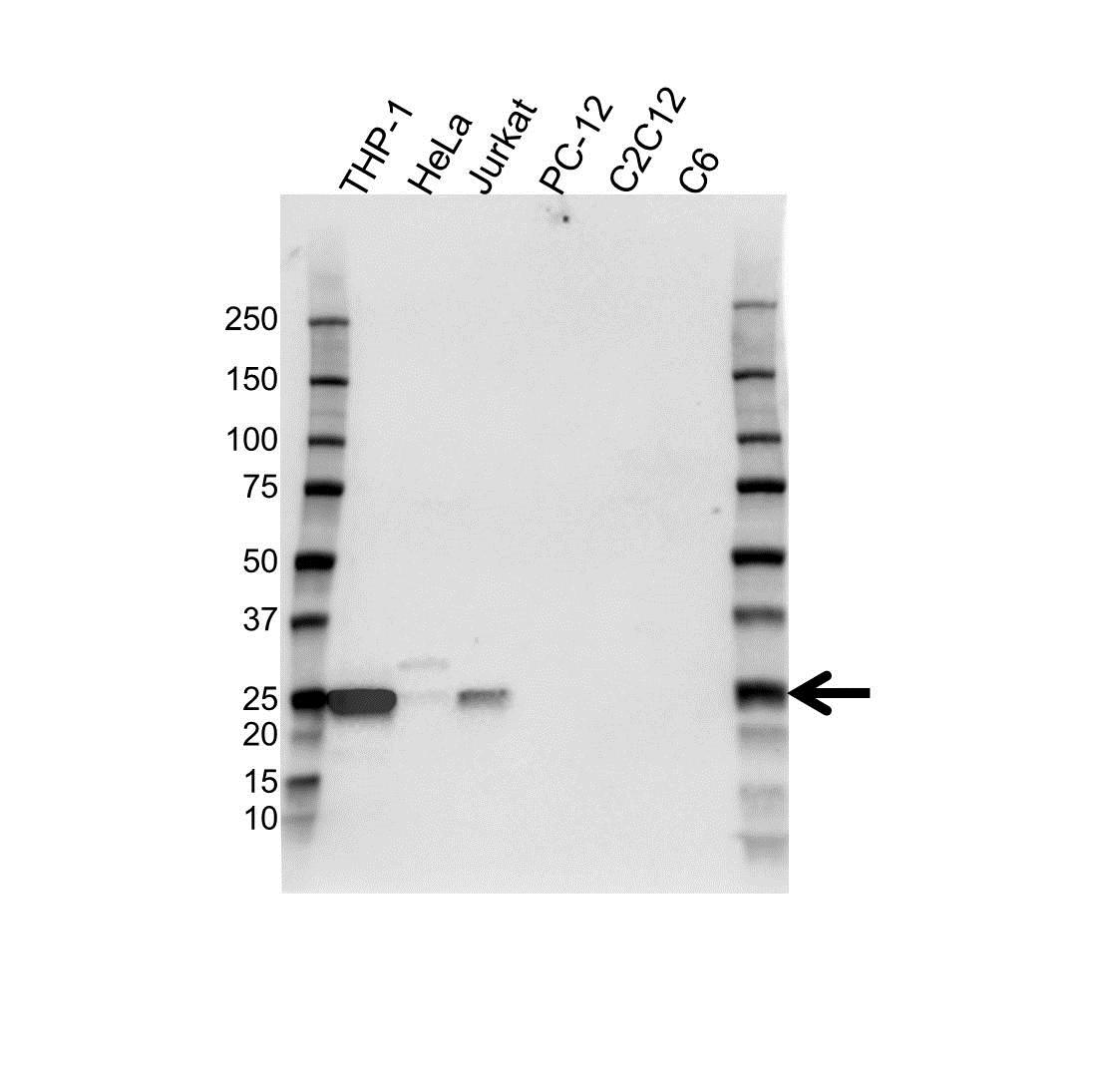 Anti Bcl-2 Antibody (PrecisionAb Polyclonal Antibody) gallery image 1