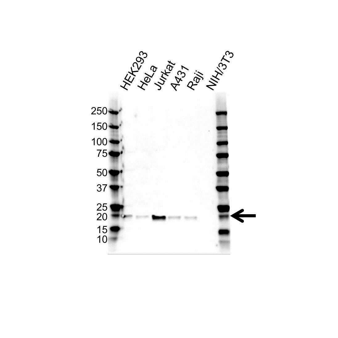 Anti BID Antibody (PrecisionAb Polyclonal Antibody) gallery image 1