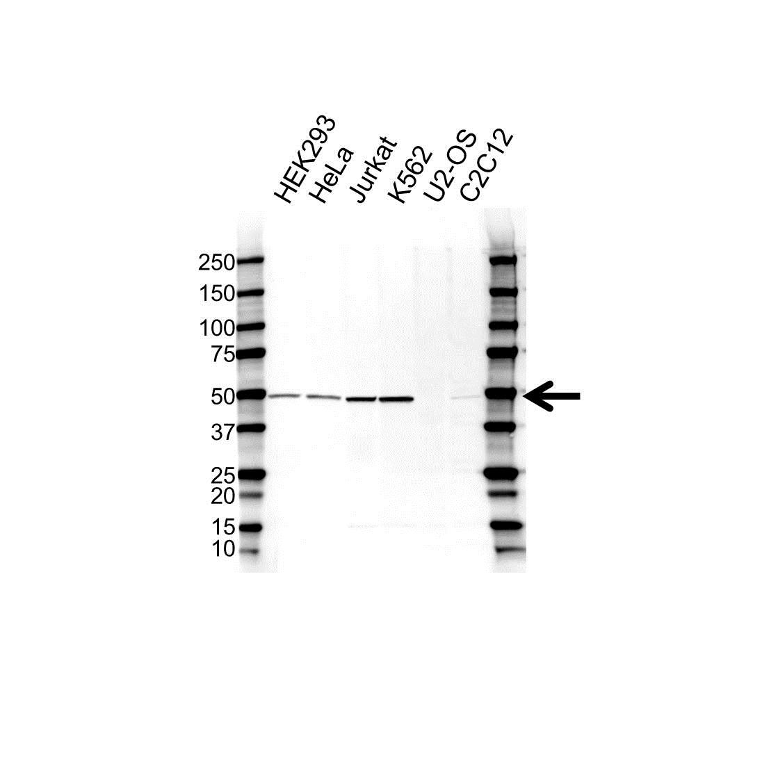 Anti BMP-7 Antibody (PrecisionAb Polyclonal Antibody) gallery image 1