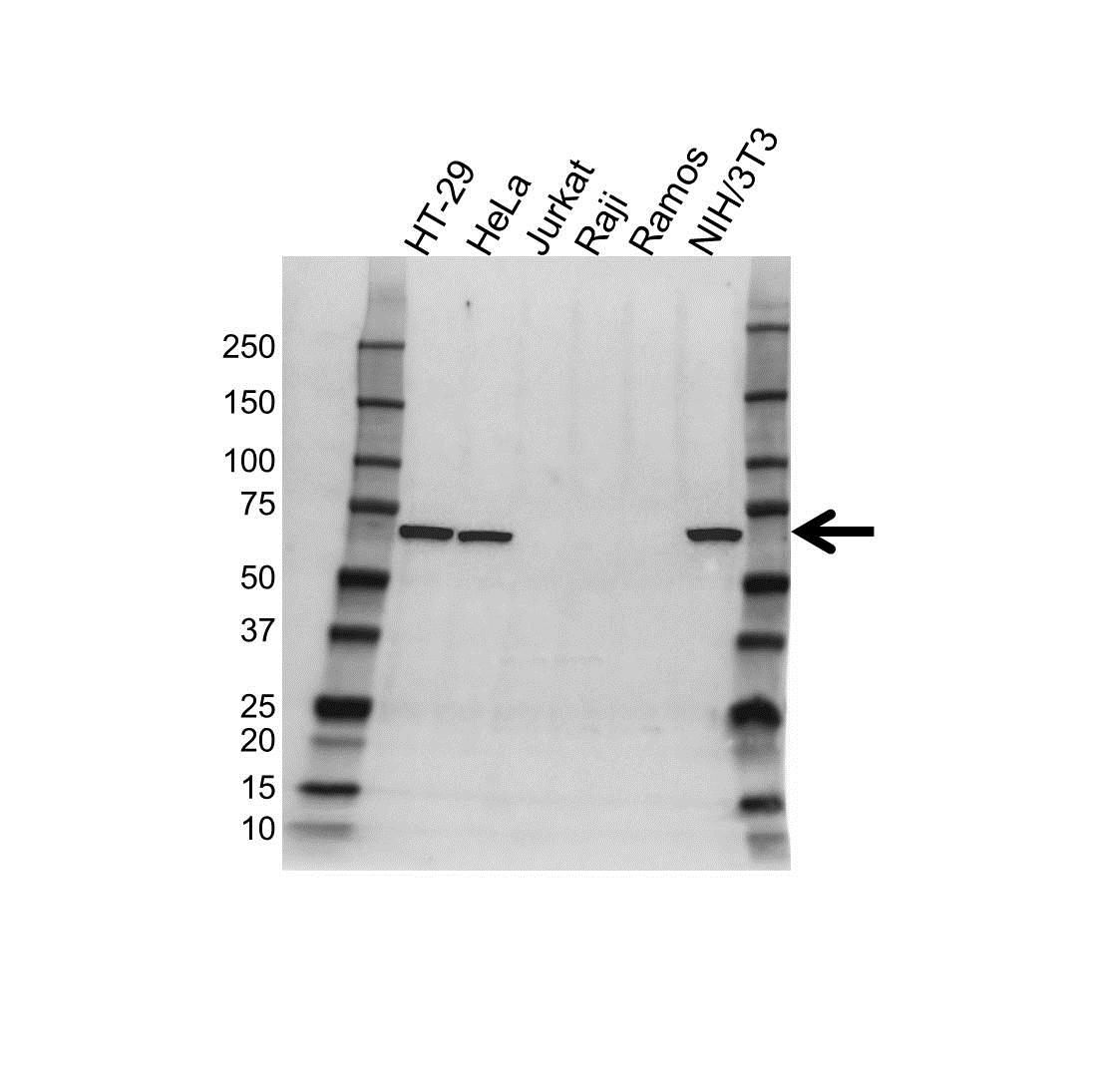Anti c-Myc Antibody (PrecisionAb Polyclonal Antibody) gallery image 1