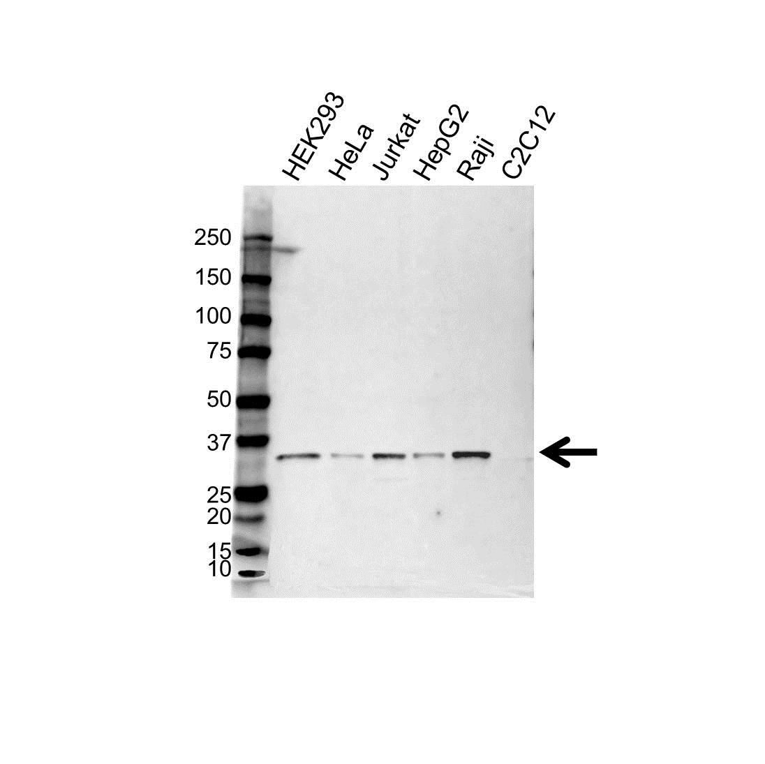 Anti C1QBP Antibody (PrecisionAb™ Polyclonal Antibody) gallery image 1