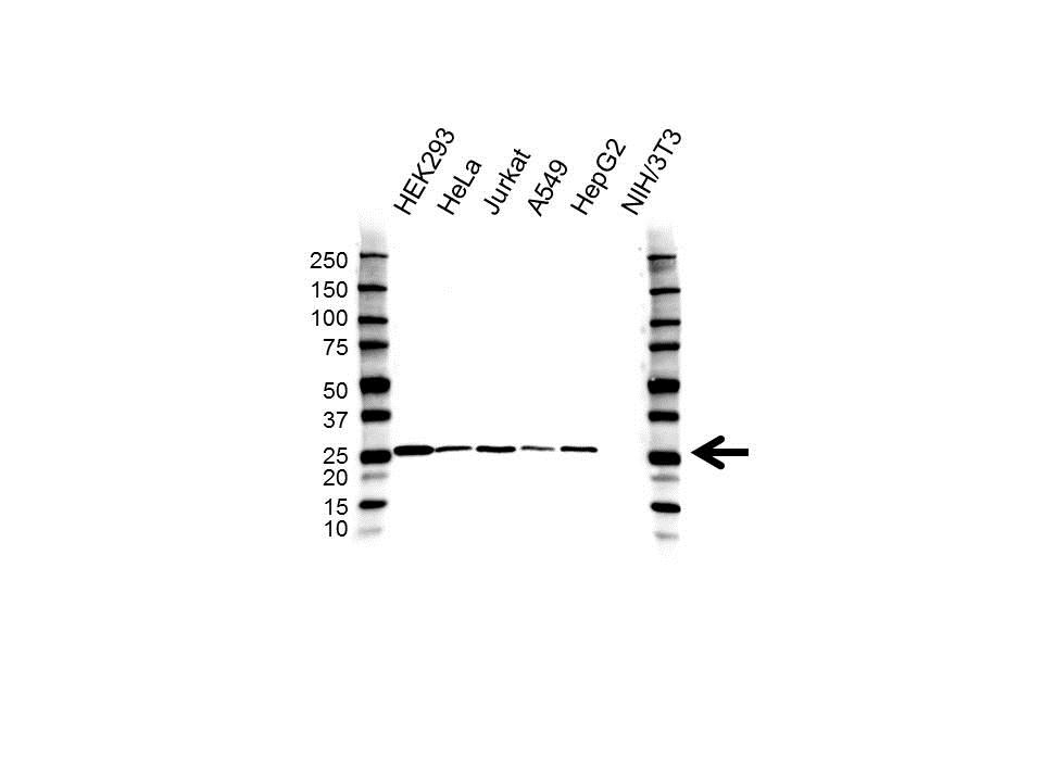 Anti C21orf33 Antibody (PrecisionAb Polyclonal Antibody) gallery image 1