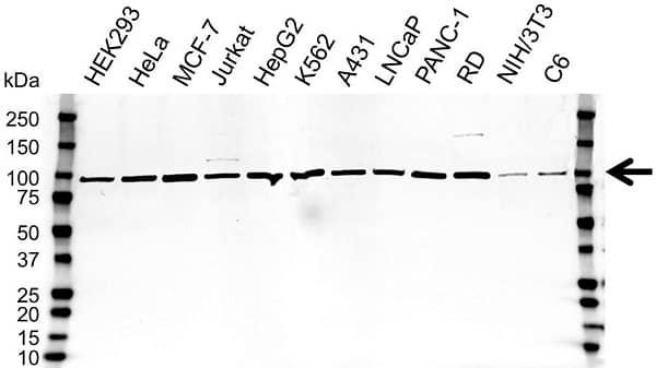 Anti Calnexin Antibody (PrecisionAb Polyclonal Antibody) gallery image 1