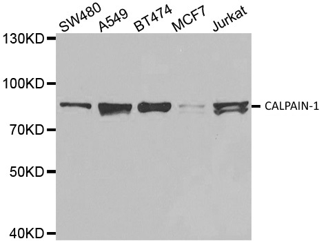 Anti CALPAIN-1 Antibody thumbnail image 1
