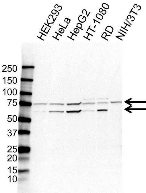 Anti Calpain-10 Antibody (PrecisionAb Polyclonal Antibody) gallery image 1