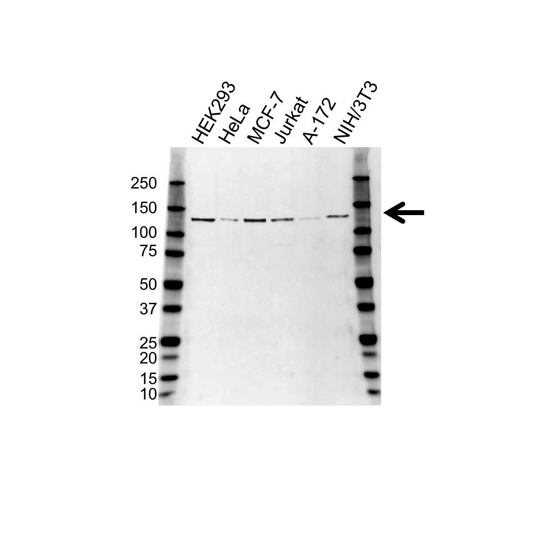Anti CAND1 Antibody (PrecisionAb™ Polyclonal Antibody) gallery image 1