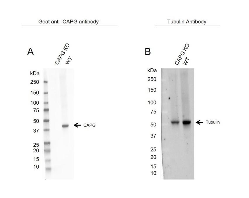 Anti CAPG Antibody (PrecisionAb Polyclonal Antibody) thumbnail image 2