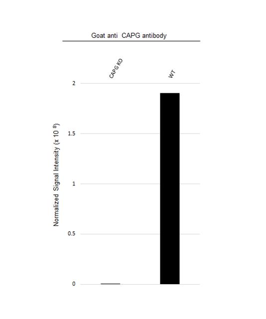 Anti CAPG Antibody (PrecisionAb Polyclonal Antibody) thumbnail image 3