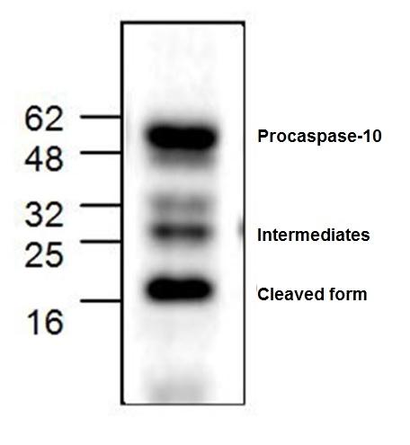 Anti Caspase-10 Antibody gallery image 1