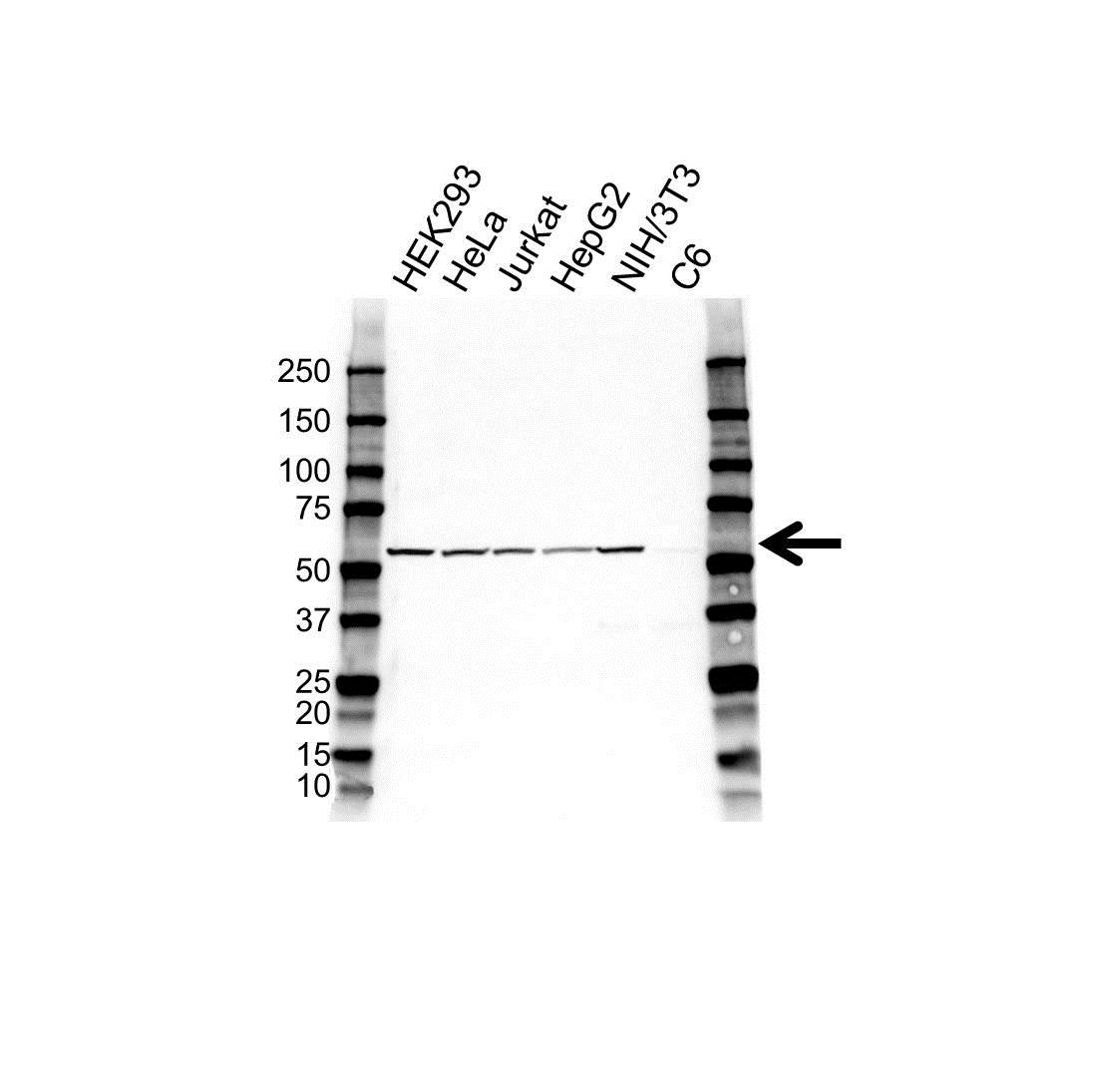 Anti Caspase-10 Antibody (PrecisionAb Polyclonal Antibody) gallery image 1
