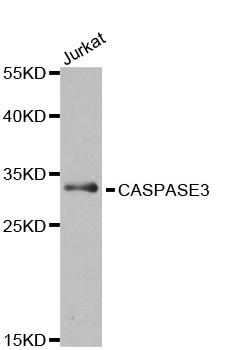 Anti Caspase-3 Antibody thumbnail image 1