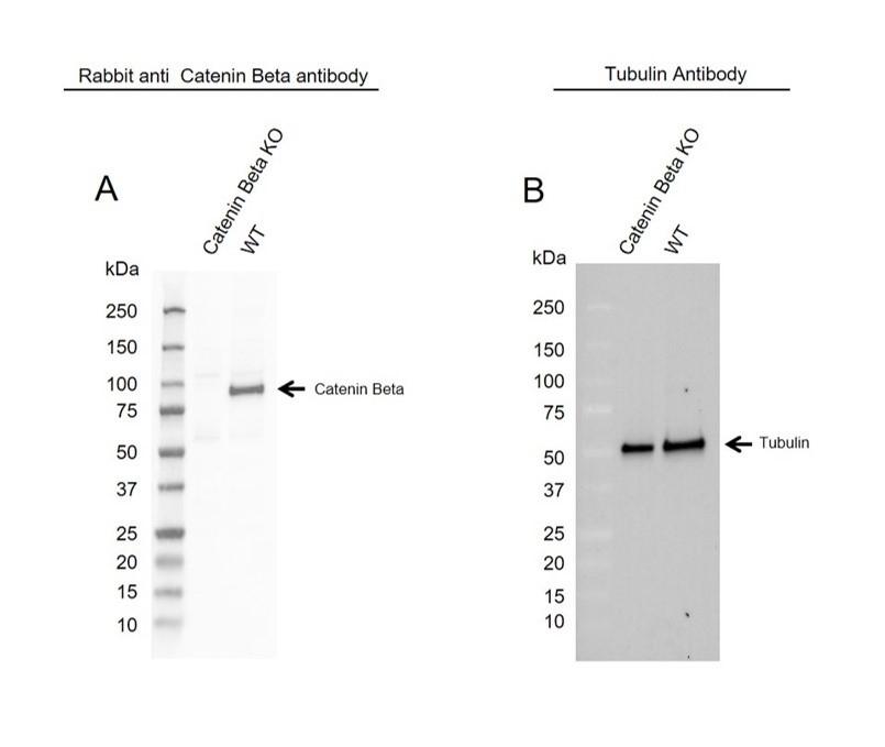 Anti Catenin Beta Antibody (PrecisionAb Polyclonal Antibody) thumbnail image 2